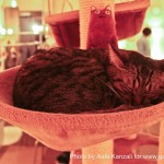 nekorobi cat cafe ikebukuro cat sleeping on a tree, nekorobi cat cafe ikebukuro chat qui dort sur un arbre