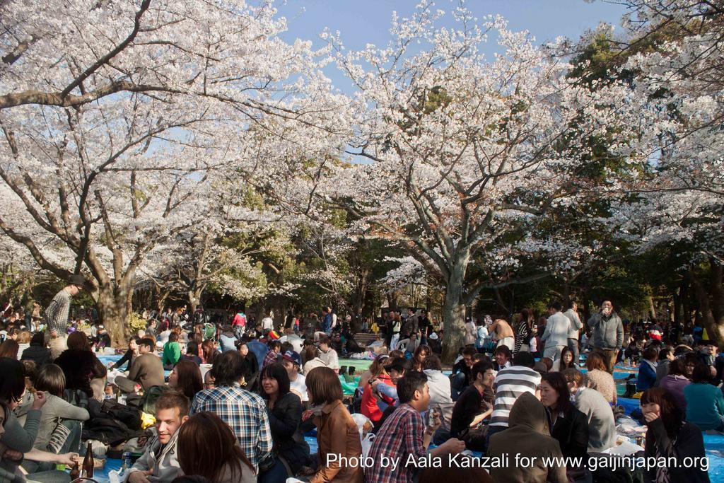 hanami - sakura at Yoyogi PArk Tokyo with Go Go nihon Japan - go go hanami