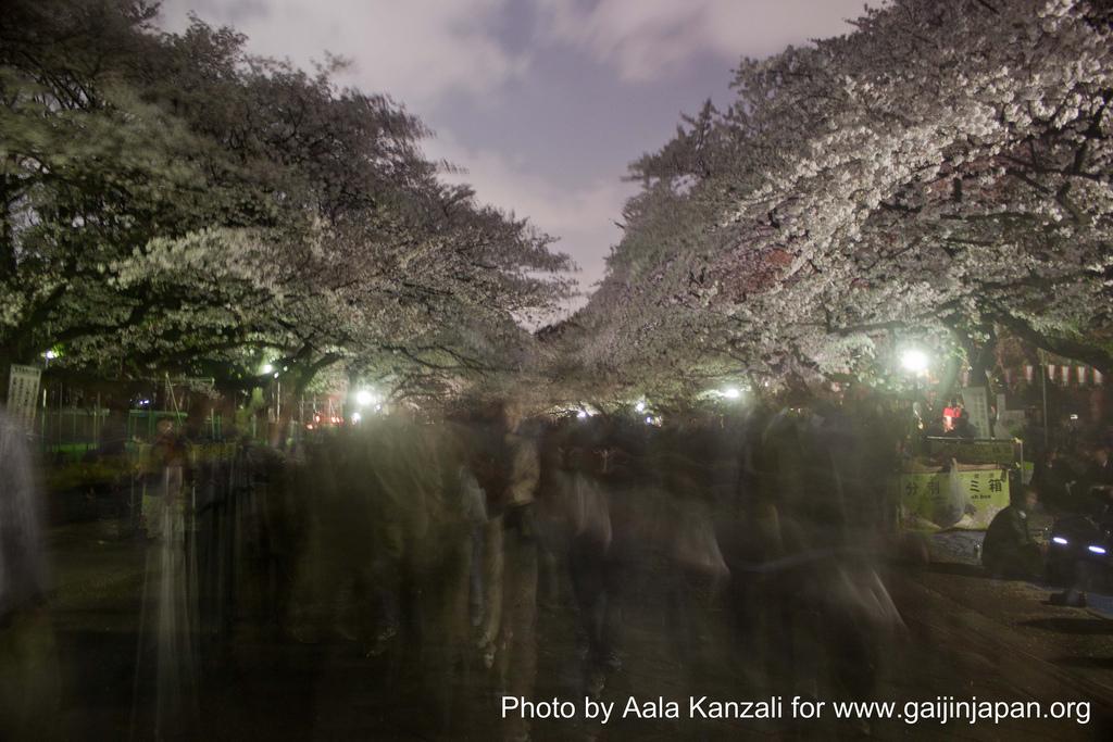 sakura & hanami by night, sakura et hanami de nuit