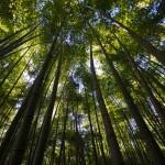 Tokyo Nikko Toshogu à pieds - bamboo
