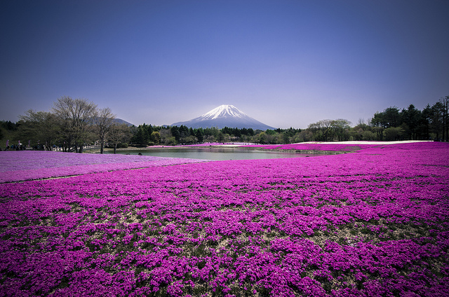 Shibazakura - Mont Fuji - photo par Andreas Jensen sur Flickr