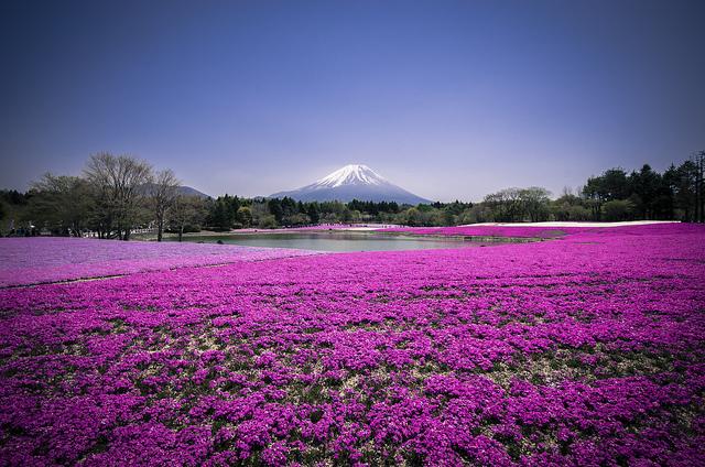 Shibazakura - Mont Fuji - photo par Andreas Jensen sur Flickr