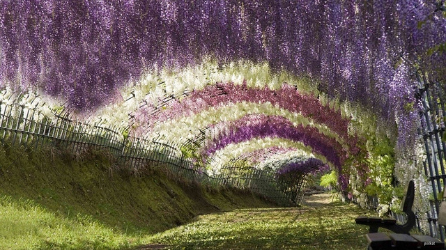 Wisteria Tunnel - photo par Anna cha sur Flickr