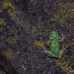 tokyo fukushima à pied - grenouille