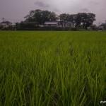 tokyo fukushima à pied - rizière