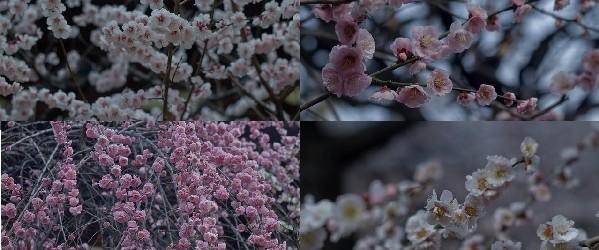 Ume Matsuri, la fleur de prunier du Japon et sa floraison