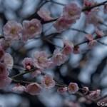 Ume, la fleur de prunier du Japon et sa floraison (10)