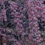 Ume, la fleur de prunier du Japon et sa floraison (11)