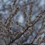 Ume, la fleur de prunier du Japon et sa floraison (2)