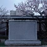 Ume, la fleur de prunier du Japon et sa floraison (3)