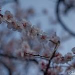 Ume, la fleur de prunier du Japon et sa floraison (5)