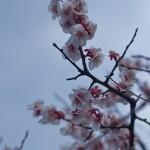 Ume, la fleur de prunier du Japon et sa floraison (6)