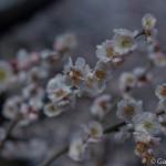 Ume, la fleur de prunier du Japon et sa floraison (7)