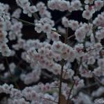 Ume, la fleur de prunier du Japon et sa floraison (8)