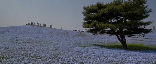 Hitachi Seaside Park et ses fleurs bleues par millions