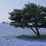 Hitachi Seaside Park Ibaraki (10)