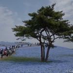 Hitachi Seaside Park Ibaraki (12)