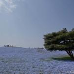 Hitachi Seaside Park Ibaraki (16)
