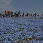 Hitachi Seaside Park Ibaraki (3)