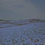 Hitachi Seaside Park Ibaraki (5)