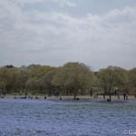 Hitachi Seaside Park Ibaraki (6)