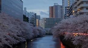 Meguro Gawa, Sakura de jour, Sakura de nuit