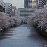 Megurogawa Sakura (3)