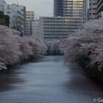 Megurogawa Sakura (9)