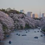 Sakura 2015 - Chidorigafuchi (1)