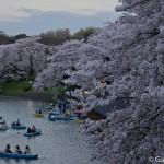 Sakura 2015 - Chidorigafuchi (2)