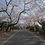 Sakura 2015 - Cimetière Yanaka (1)