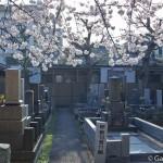 Sakura 2015 - Cimetière Yanaka (3)