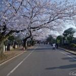 Sakura 2015 - Cimetière Yanaka (7)