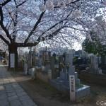 Sakura 2015 - Cimetière Yanaka (8)