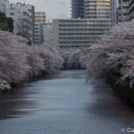 Sakura 2015 - Meguro Gawa (16)