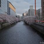 Sakura 2015 - Meguro Gawa (2)