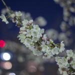 Sakura 2015 - Meguro Gawa (3)