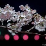 Sakura 2015 - Meguro Gawa (5)
