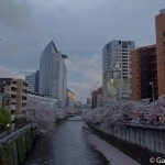 Sakura 2015 - Meguro Gawa (8)