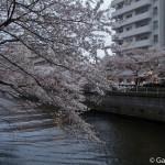 Sakura 2015 - Meguro Gawa (9)