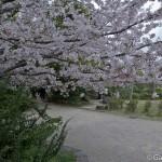 Sakura 2015 - Parc Sumida (12)
