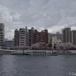 Sakura 2015 - Parc Sumida (13)