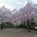 Sakura 2015 - Parc Sumida (19)