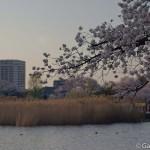 Sakura 2015 - Parc Ueno (1)
