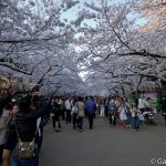 Sakura 2015 - Parc Ueno (10)