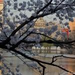 Sakura 2015 - Parc Ueno (12)