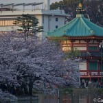 Sakura 2015 - Parc Ueno (13)