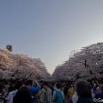 Sakura 2015 - Parc Ueno (16)