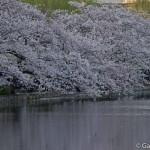 Sakura 2015 - Parc Ueno (20)