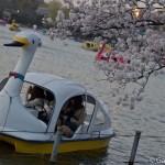 Sakura 2015 - Parc Ueno (3)